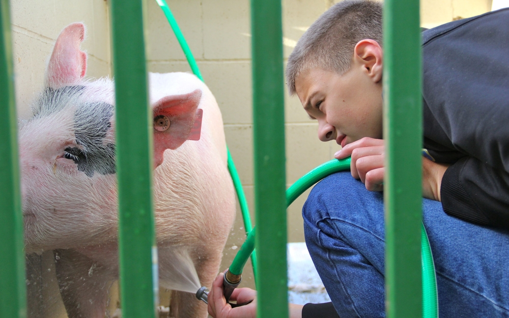 washing a pig